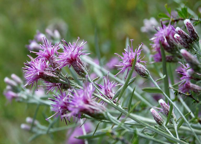 Соссюрея. Известное лечебное растение